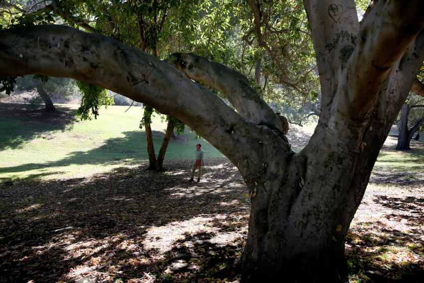 The Elysian Park arboretum contains about 135 tree species planted more than a century ago.
