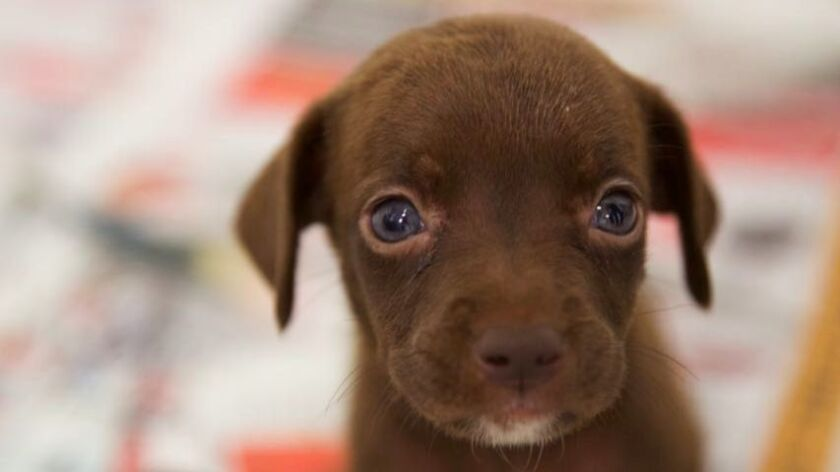 One of several puppies among the 35 dogs rescued from a Corona home.