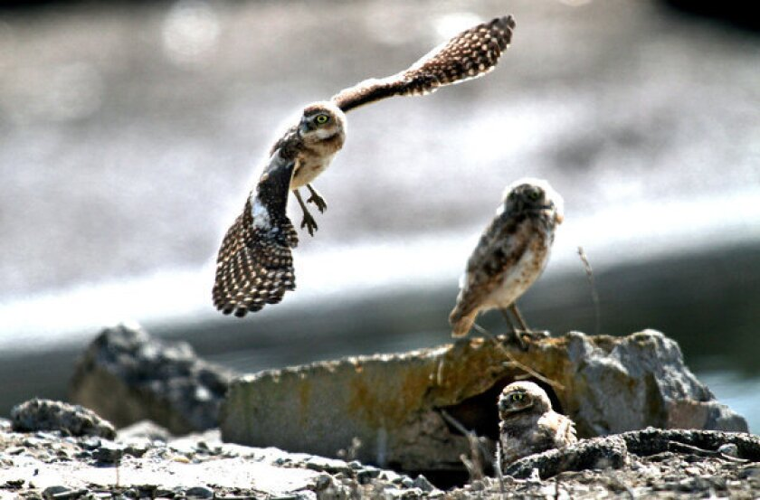 A juvenile burrowing owl comes in for a landing near the ground squirrel burrow that the owls have taken over at the Seal Beach Naval Weapons Station.
