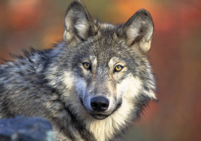 A young male gray wolf