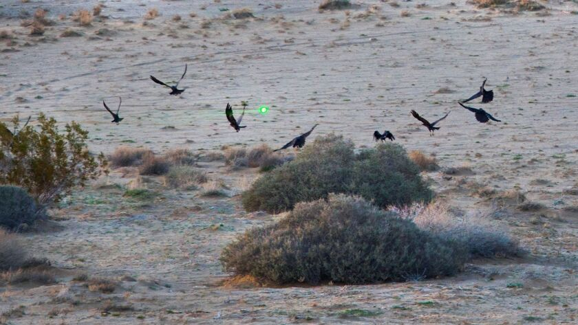 A green laser scares away a gaggle of ravens in Joshua Tree.