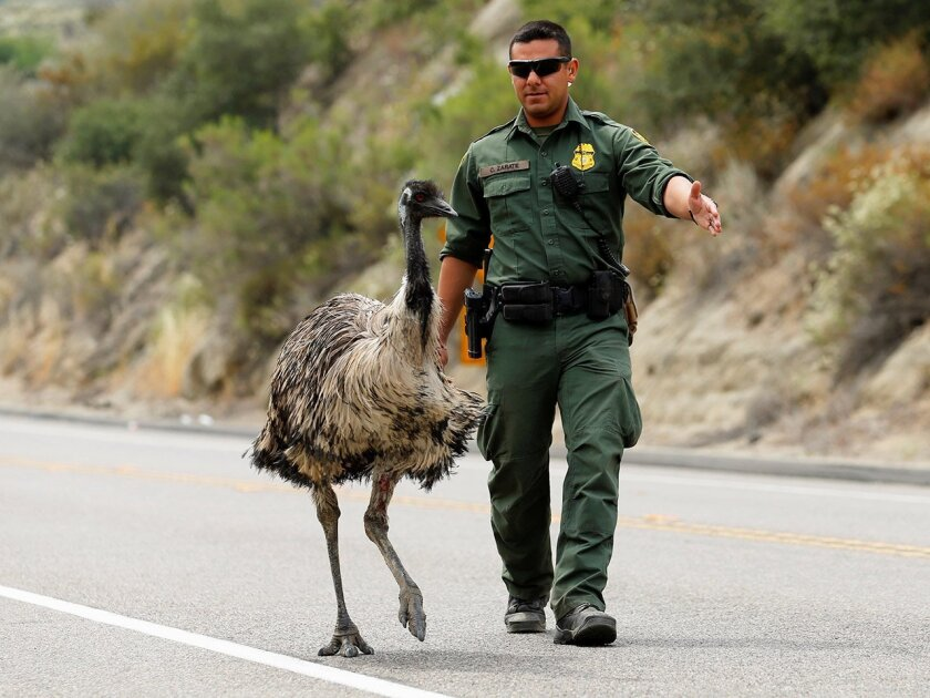 U.S. Customs and Border Protection officer Constantino Zarate tries to herd an Emu off the highway as a wildfire continues to burn north of the U.S.- Mexico border near Potrero, California.