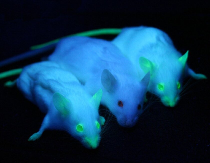 Two transgenic mice expressing green fluorescent protein under ultraviolet illumination on either side of a non-transgenic mouse.
