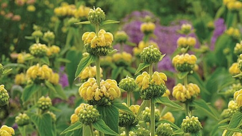 Phlomis, or Jerusalem sage, fares well in poor soils or rocky slopes and its flowers offer a bright yellow burst of sunniness.
