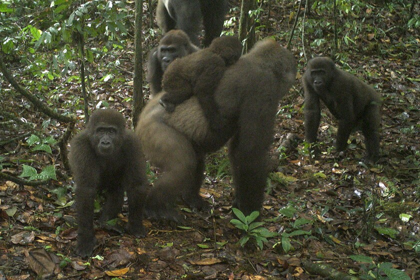 An image taken by a camera trap on June 22 shows a group of Cross River gorillas in Nigeria's Mbe Mountains.