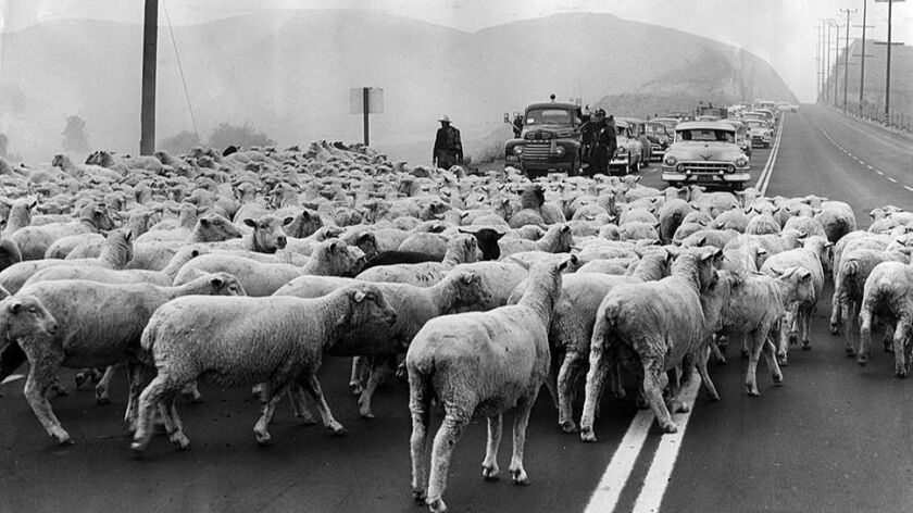 Oct. 17, 1955: With the help of policemen, sheep are moved across Ventura Blvd., in Woodland Hills.