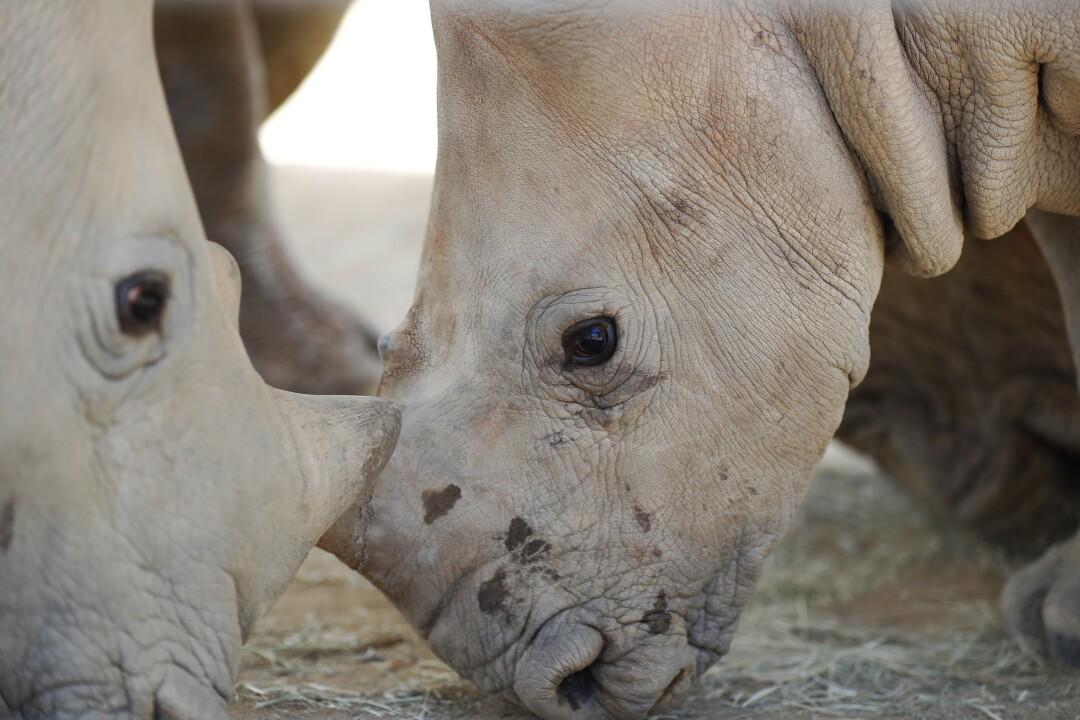 Edward, a baby southern white rhino, walks around at the San Diego Zoo Safari Park on May 19, 2020.
