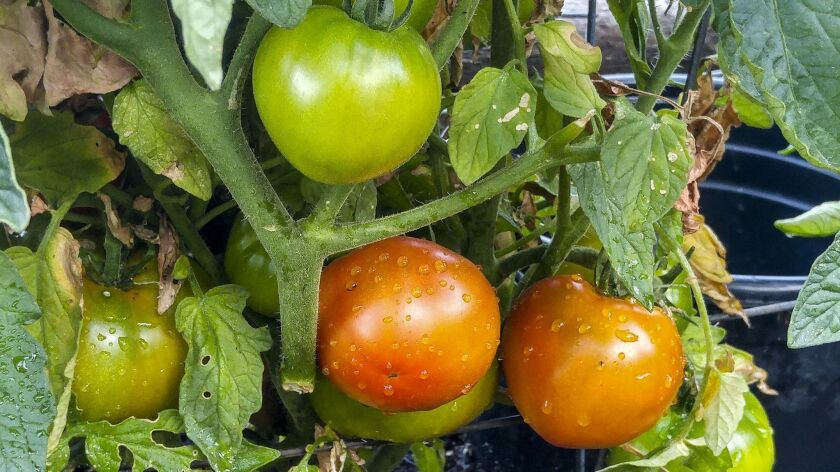 2Celebrity tomatoes for the story about garden experts revealing their favorite tomatoes.
