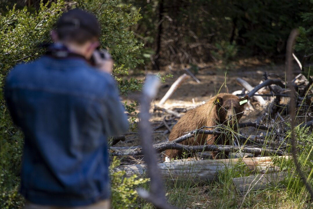 Austin Wall of Napa takes a picture of a bear near El Capitan Meadow