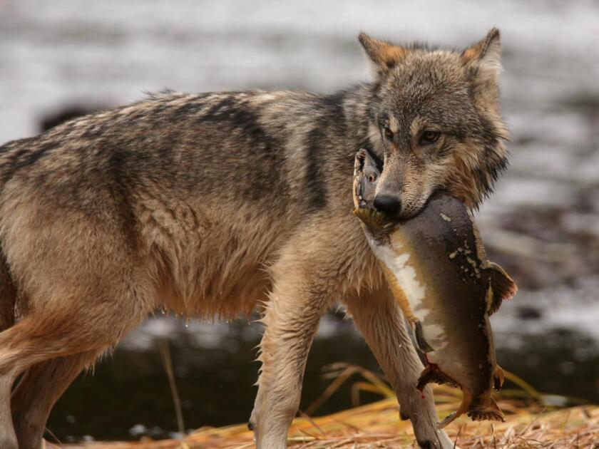 """A coastal wolf hunts salmon in Canada. A new study finds that humans are a """"superpredator"""" that puts serious hunting pressure on fish and land-based carnivores."""