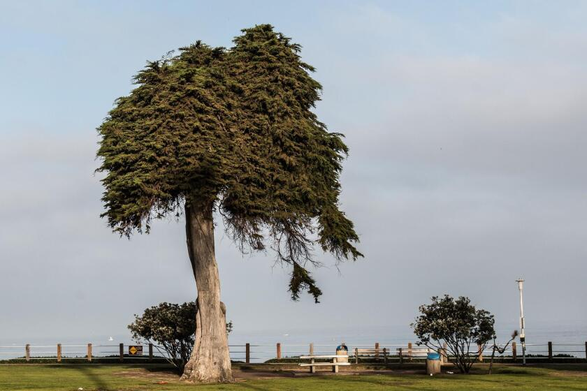 "The ""Lorax Tree"" was a Scripps Park landmark in La Jolla for at least 80 years, until it fell in June 2019."