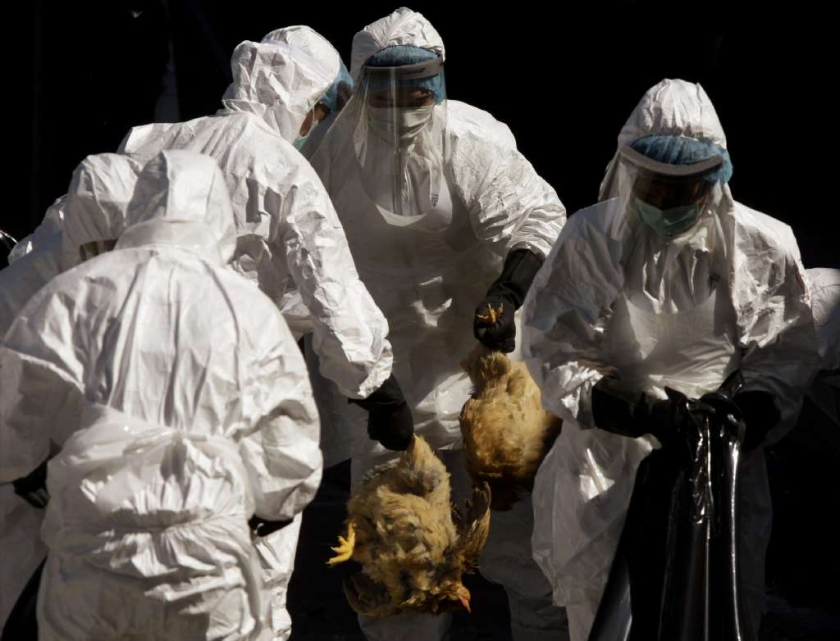 "Health workers slaughtered chickens at a wholesale poultry market in Hong Kong after three dead chickens tested positive for ""bird flu"" in 2008. New research shows the H5N1 flu virus could become easily transmissible among people if it acquired just five genetic mutations."