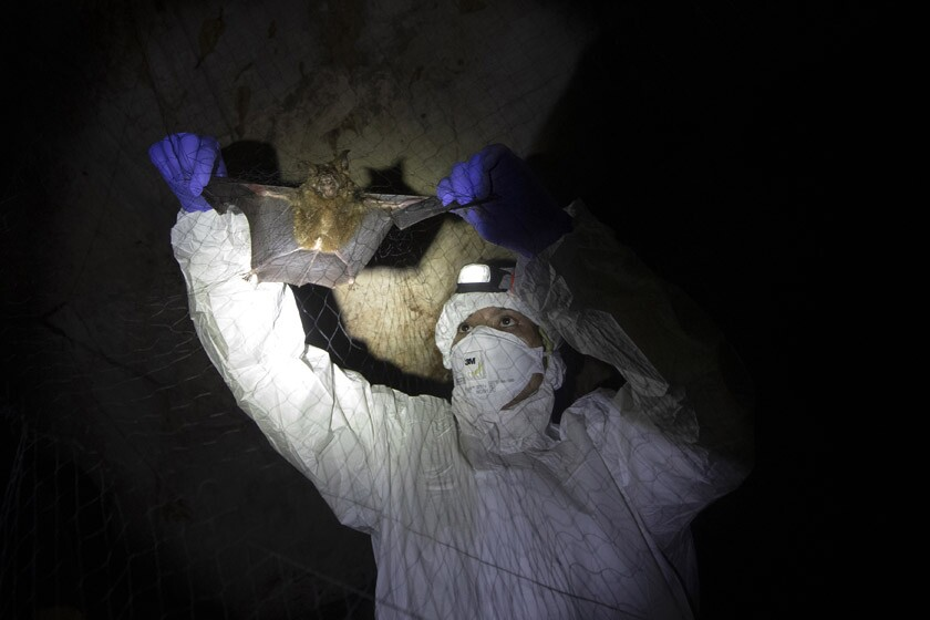 A searchlight in a dark cave shows a man in protective clothing holding the wings of a bat in a net.