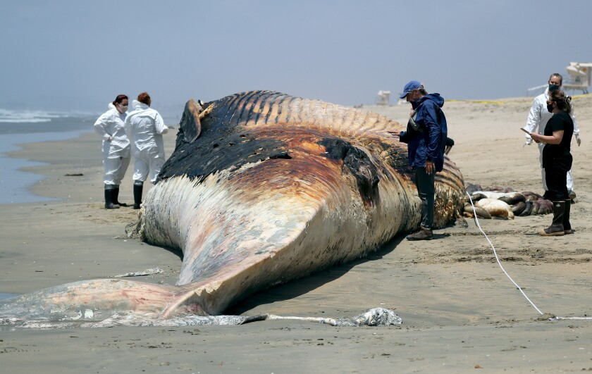 People, some in white protective gear, surround an adult whale carcass on a wet beach