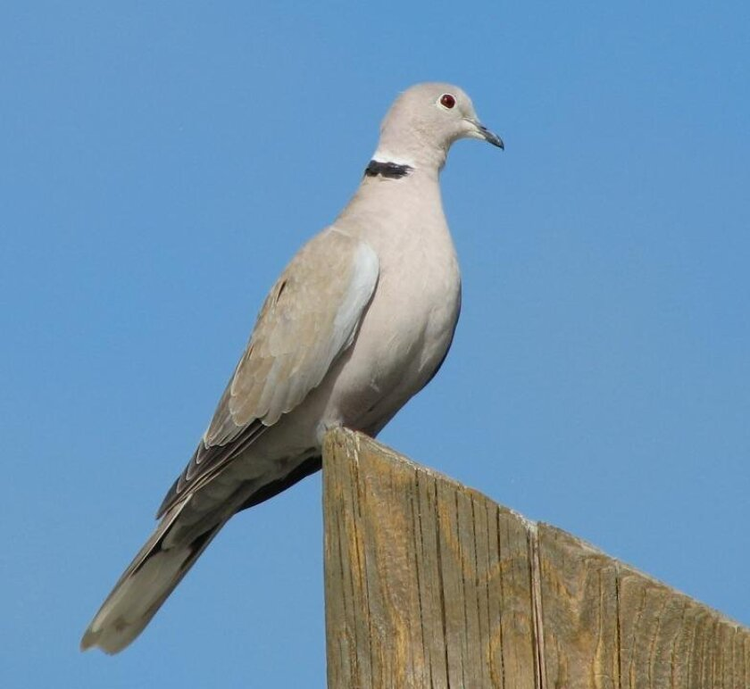 Beginning Sept. 1, hunters in Imperial County may shoot Eurasian doves like this year round with no limit.