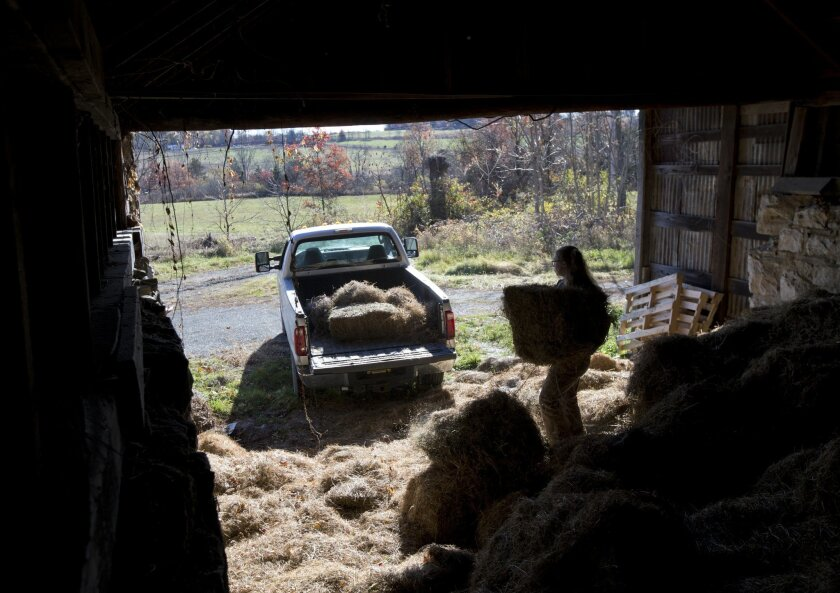 In this Friday, Oct. 30, 2015, photo, Leanna Mulvihill loads hay onto a pickup truck at the Hudson Valley Farm Business Incubator in New Paltz, N.Y. The incubator provides young farmers like Mulvihill with guidance, farm equipment and below-market rents for three years to help them get on their fee