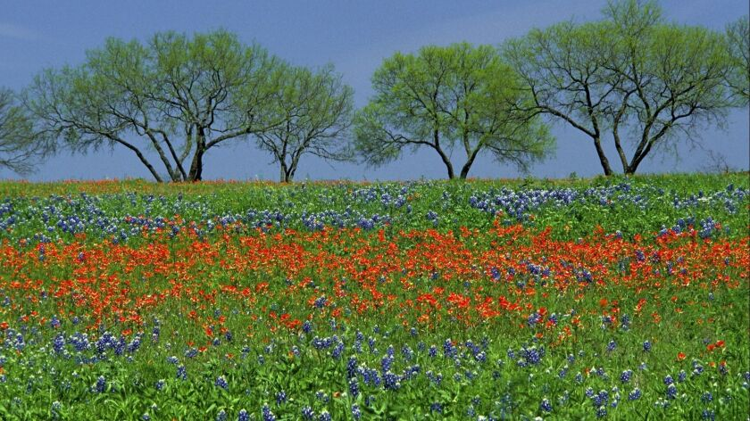 Field of spring wildflowers, Texas bluebonnets and Texas paintbrush, with four mesquite trees in Texas hill country in Lyndon B. Johnson State Park.
