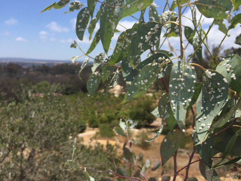 The lerp pysllids have taken over the red gum eucalyptus trees in Rancho Santa Fe.