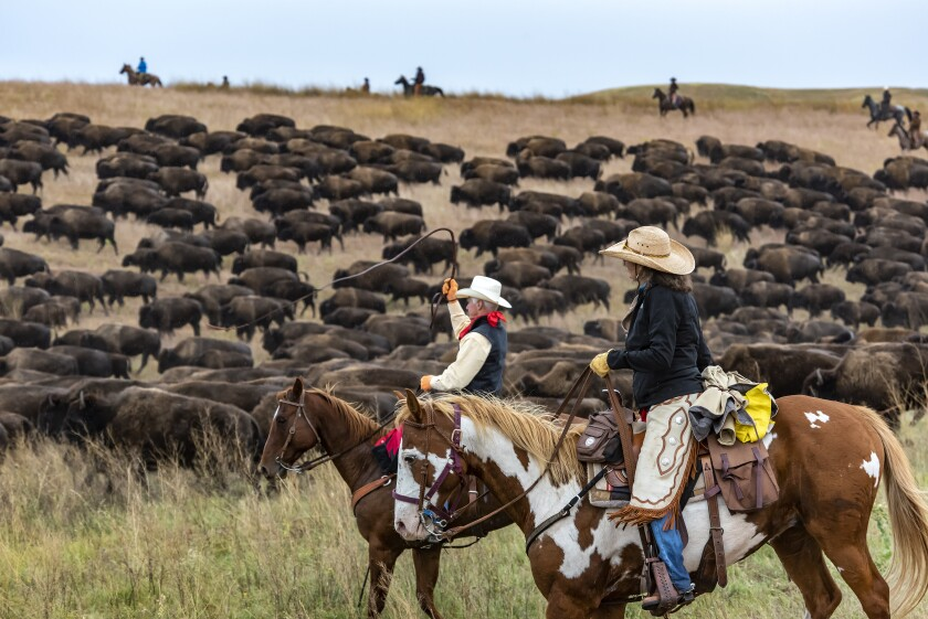 Custer State Park Buffalo Roundup in South Dakota will be in September 2020.