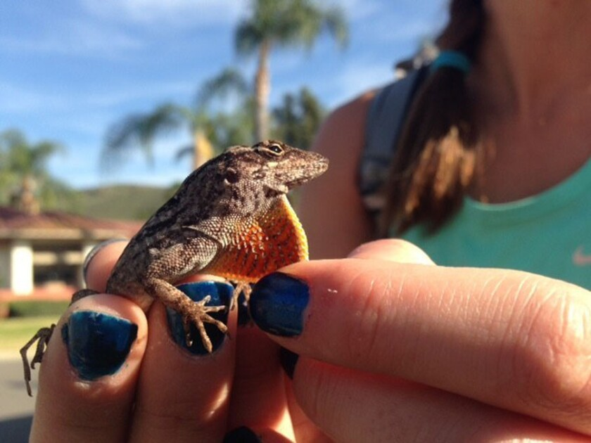 Nonnative anoles and geckos have established thriving populations in portions of Orange County, Calif.