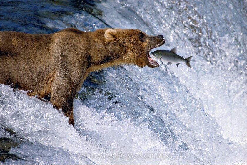 'Catch of the Day' (Brown Bear) by Thomas Mangelsen, Brooks Falls, Alaska (1988)