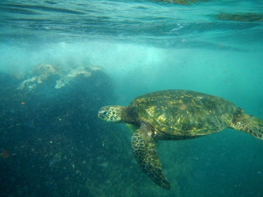 Part of the magic of the Hawaiian Islands is being able to swim with green sea turtles in protected coves.