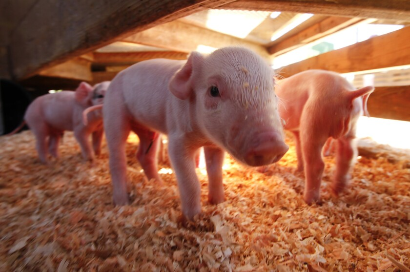 la-me-orphaned-piglets