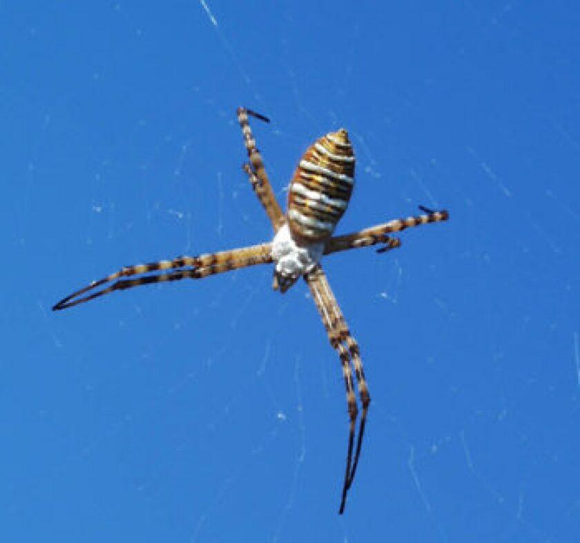 OrbWEAVER-spider-2.jpg