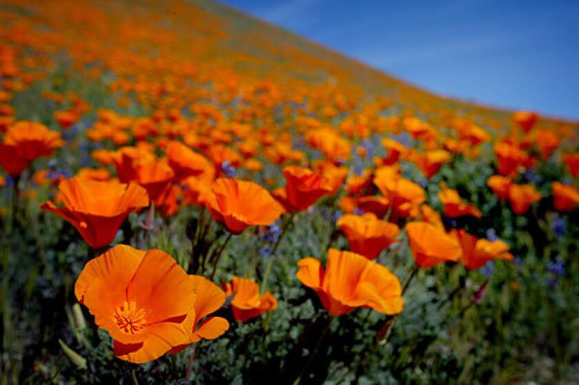 It may not be until mid-April that fields of large orange poppies (such as these in a photo taken a few years ago) blanket the Antelope Valley California Poppy Reserve in Lancaster, Calif., but it's difficult to predict how abundant the blooms will be this year.