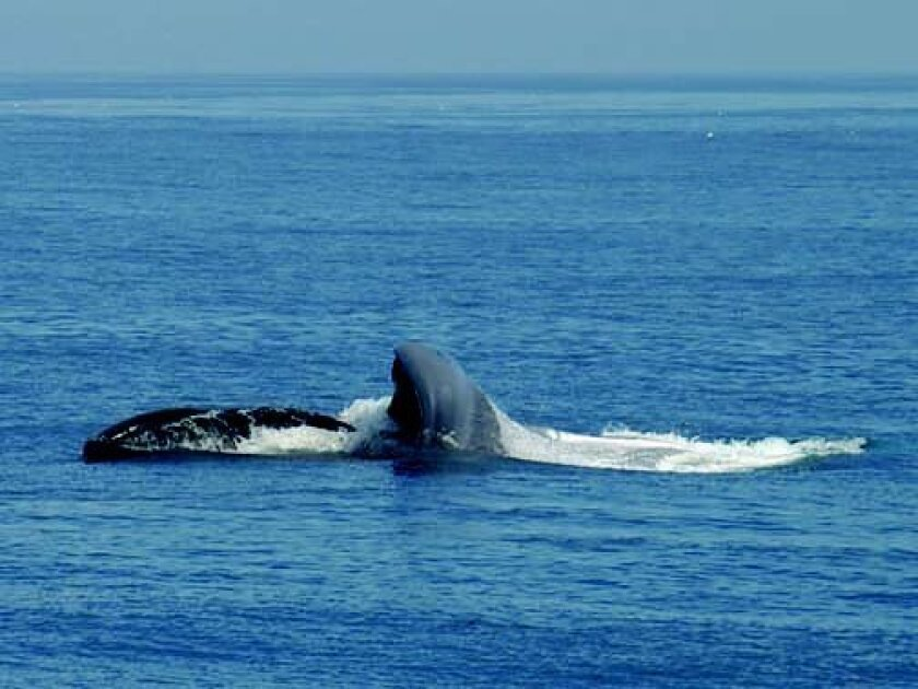 A blue whale feeding at the surface. At left is the roof of the mouth with water flowing in, while on the right, the pleated grooves are beginning to expand. Photo by Jeremy W Smith