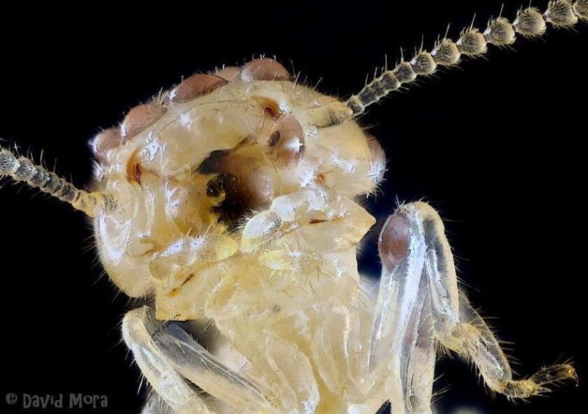 Fotografía facilitada por el Laboratorio Termitas ISS, el primer laboratorio privado para estudiar cómo combatir más eficazmente a esta plaga de insectos, que son poco menos que microscópicos pero ferozmente devoradores. Las termitas provocan anualmente en España daños en edificios de estructura de madera por valor de 600 millones. EFE/SOLO USO EDITORIAL