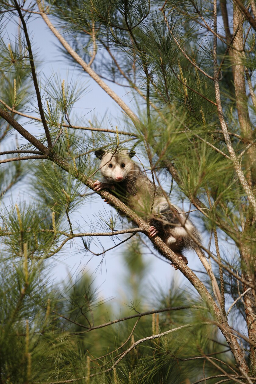 """A possum is spotted in a tree. Brasstown, N.C., is under fire from an animal rights group for a New Year's Eve """"possum drop"""" in which a live opossum is lowered in a cage during the countdown to the new year."""