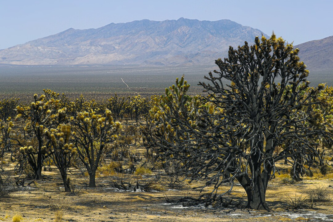 The Dome fire scorched 43,000 acres in the Mojave National Preserve.