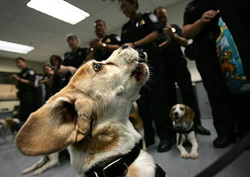 Shiloh, who has worked for U.S. Customs and Border Protection for eight years and is responsible for about 20,000 interceptions, is applauded by K-9 enforcement officers during his retirement party in the Customs area at the Tom Bradley International Terminal at LAX.