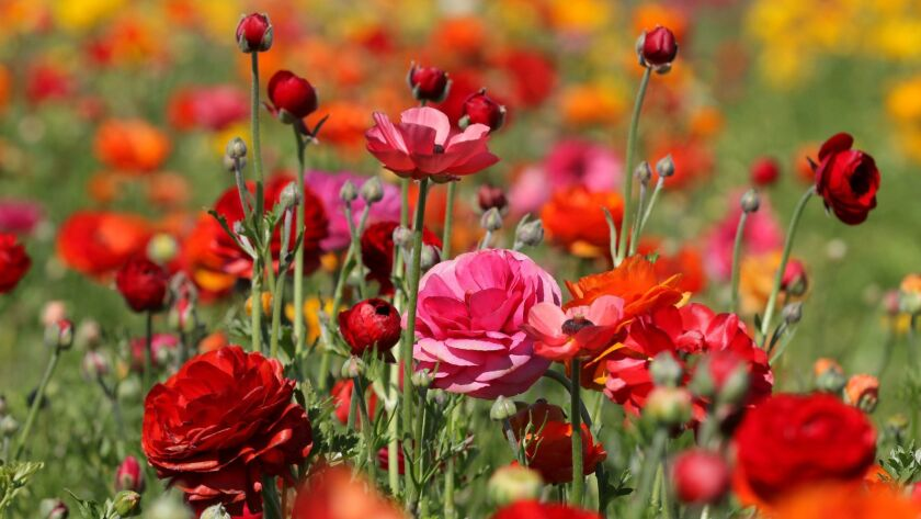 March is bloom time for Ranunculus.