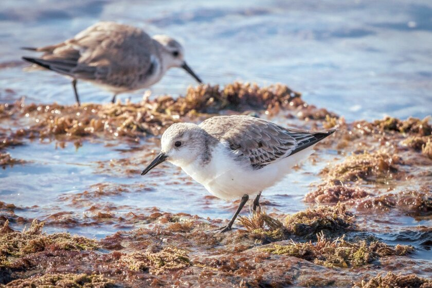 The sanderling spends summers nesting in the arctic and migrates as far as 6,000 miles.