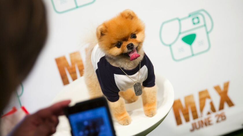 Jiff the Pomeranian, who has more than 6.1 million followers on Instagram, does publicity for a movie.