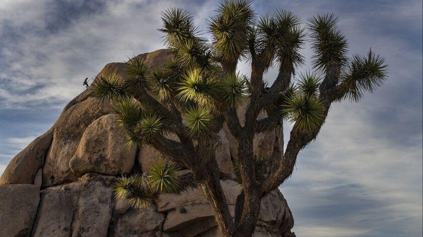 JOSHUA TREE, CA - JANUARY 8, 2019: A rock climber repels down a rock face at Joshua Tree National Pa