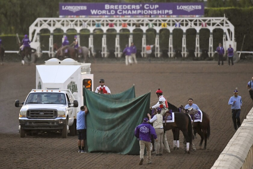 Track workers treat Mongolian Groom after the Breeders' Cup Classic. h
