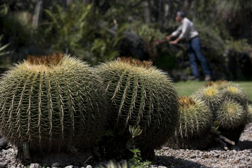 In this Nov. 4, 2015 photo, Dr. Salvador Arias is seen past a cluster of endangered echinocactus grusonii cacti, also known as Biznaga, as he looks at other species inside the botanical gardens of the National Autonomous University of Mexico in Mexico City. About a third of the world's cactus species are threatened with extinction, the International Union for Conservation of Nature warns in a new report. (AP Photo/Rebecca Blackwell)