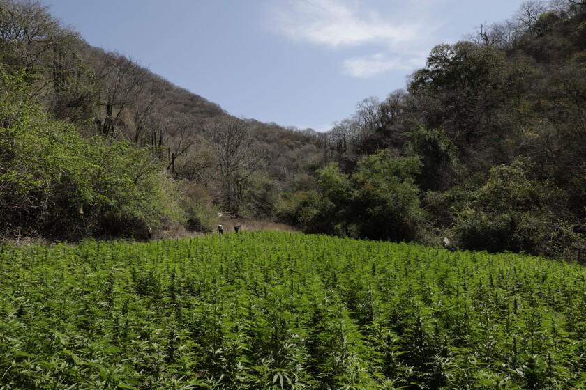 Una plantación de marihuana crece en las montañas que rodean Badiraguato, estado de Sinaloa