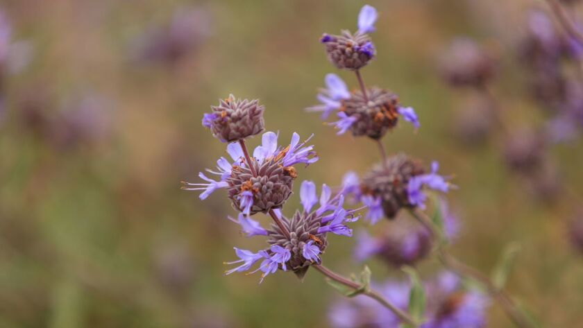 Purple-flowering Cleveland sage is among native plants that can also thrive in your garden.