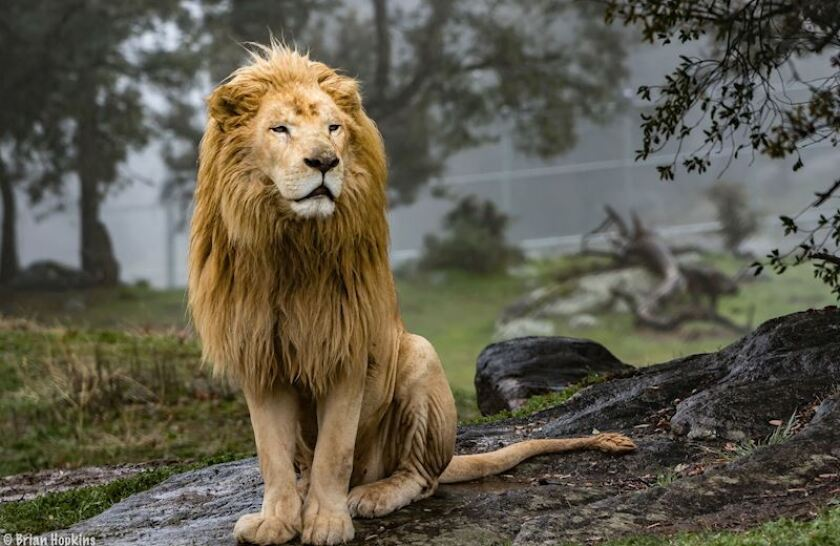 Lufuno (or Louie) was 12 when he was rescued, along with lions Zulu and Arusha, three years ago when a former animal trainer relinquished the trio to Lions Tigers and Bears. He is what is known as a white lion, a rare color mutation of the Southern African lion.