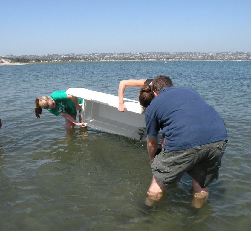 Daniela De Kervor and Laura Wells spill the young white sea bass into Mission Bay under the watchful eye of Hubbs scientist Mark Drawbridge. Courtesy photos