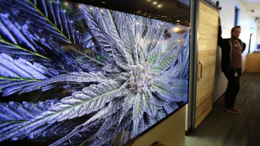 FILE - In this Wednesday, Oct. 17, 2018 photo a cannabis plant is displayed on a screen at New Engl