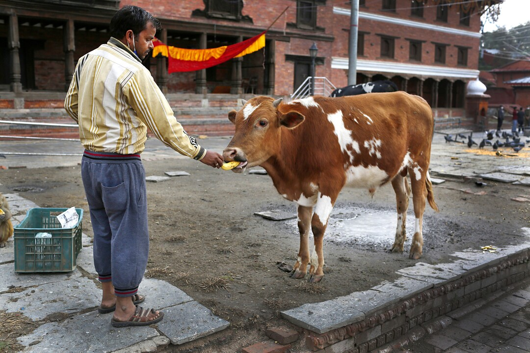 NEPAL: A Nepalese volunteer feeds an ox March 31 at Pashupatinath temple, the country's most revered Hindu temple, during the lockdown in Kathmandu, Nepal. Guards, staff and volunteers are making sure animals and birds on the temple grounds don't starve during the country's lockdown.