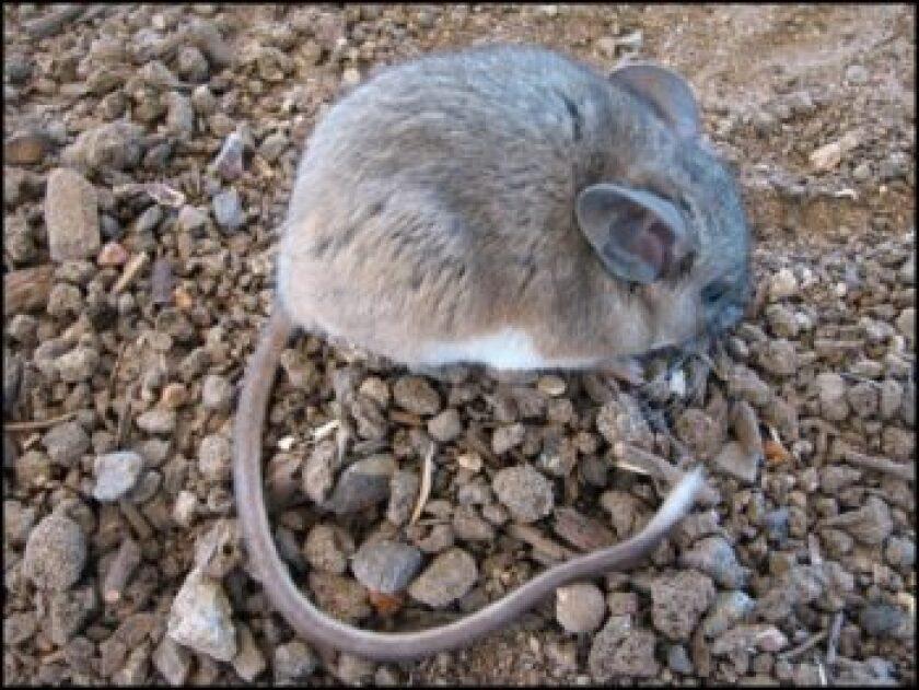 Brush-Mouse-350x263.jpg