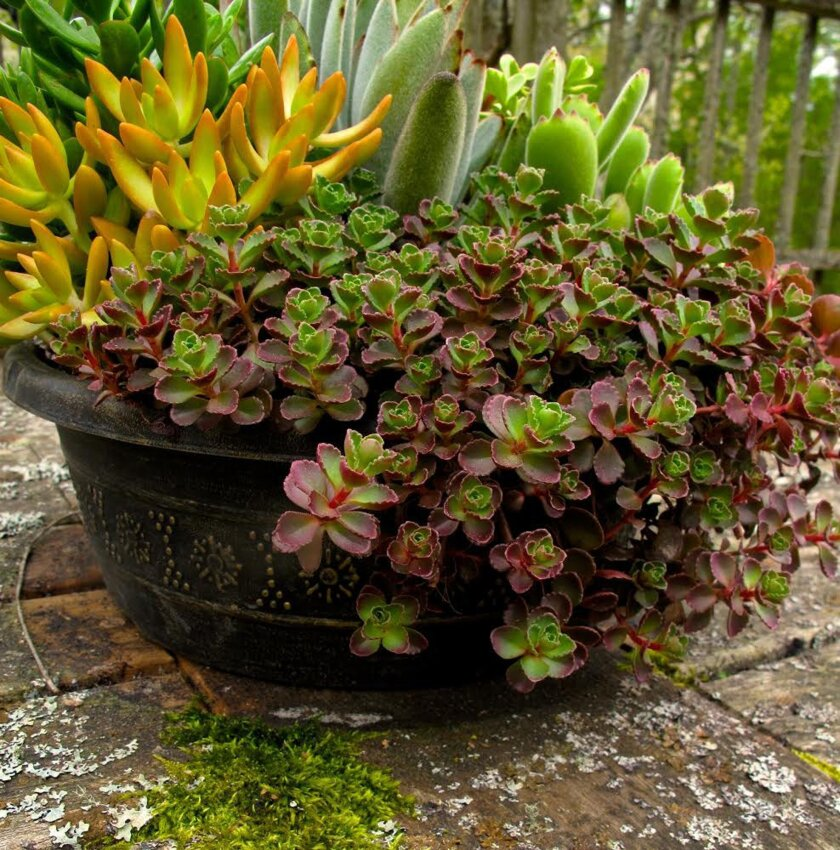 This April 26, 2013 photo shows a succulent arrangement on a patio table in Langley, Wash. Many techniques have been developed over the years to help ensure that potted plants survive winter. One of the simplest is to bring them indoors as this gardener intends to do for a second straight year. (AP Photo/Dean Fosdick)