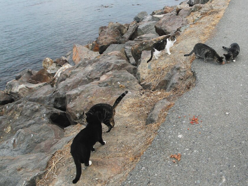 Feral cats living along the shores of Mission Bay eat food left for them by volunteer Claudia Allen.