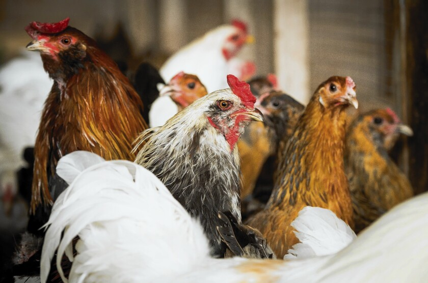 Chickens mill inside a coop at the University of Delaware, where researchers are working on creating new breeds of poultry that would be resilient in the face of climate change.